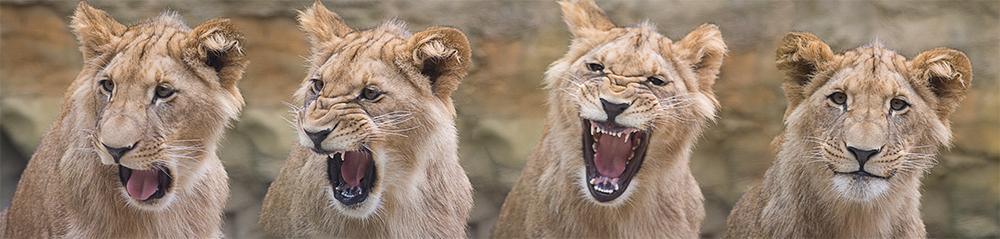 kleine Löwen-Mimik