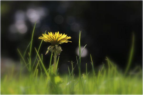 Kleine Löwenzahnblüte......