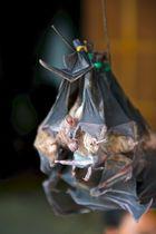 Kleine Mahlzeit gefällig? In Laos sind Fledermäuse eine wahre Delikatesse!
