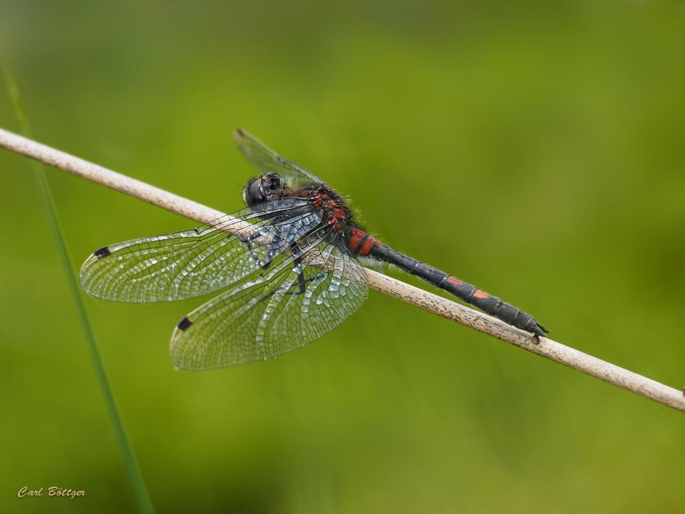 Kleine Moosjungfer - Männchen (2)