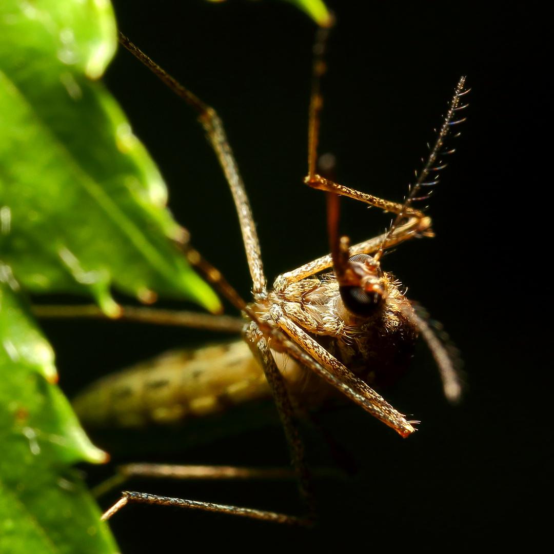 Kleine Mücke auf einem Blatt entdeckt - Wer bin ich?