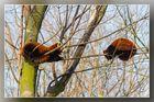 Kleine Pandas 01