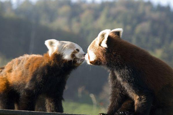 Kleine Pandas scheinen sich zu mögen