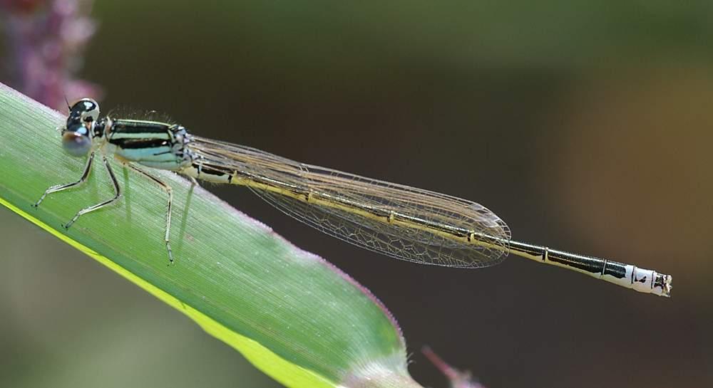 Kleine Pechlibelle (Ischnura pumilio)