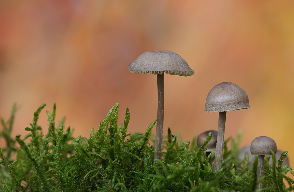 Kleine Pilze im Herbstwald (3)