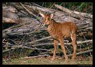 Kleine Rappenantilope