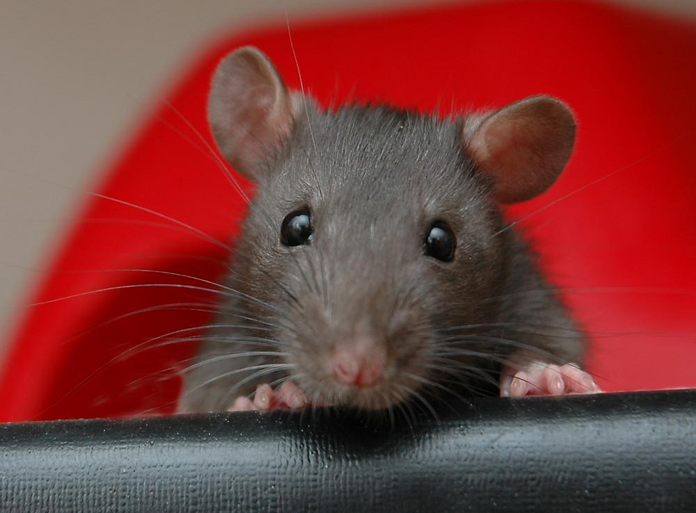 Kleine Ratte Anjouli