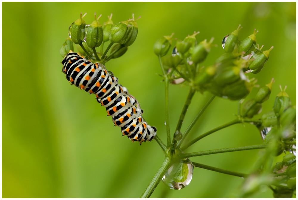 kleine raupe des schwalbenschwanz schmetterling foto bild tiere wildlife insekten bilder. Black Bedroom Furniture Sets. Home Design Ideas