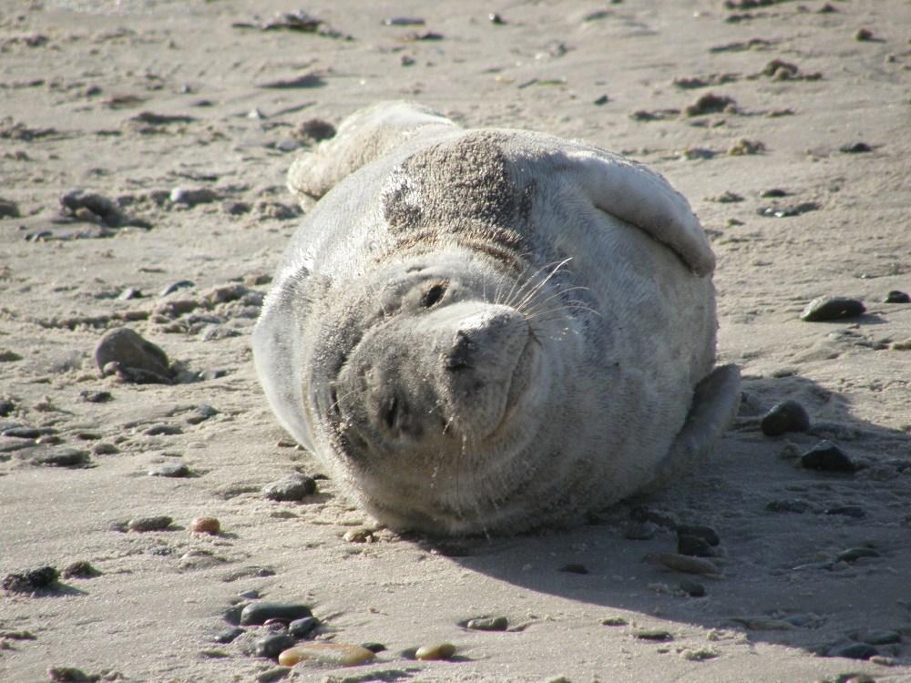 Kleine Robbe, ganz groß