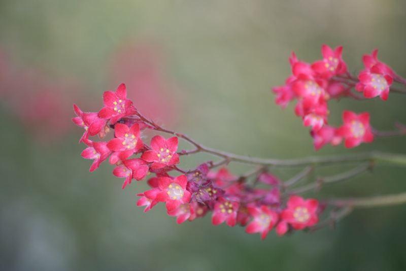 kleine rote blueten foto bild pflanzen pilze flechten bl ten kleinpflanzen. Black Bedroom Furniture Sets. Home Design Ideas