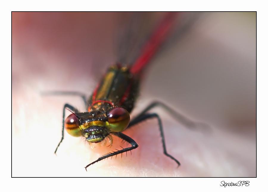 Kleine rote Libelle auf meiner Hand....
