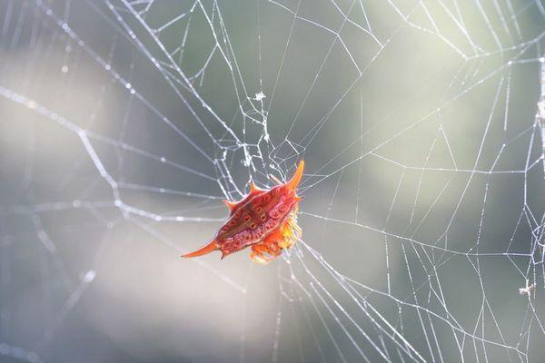 kleine rote Spinne aus Madagaskar
