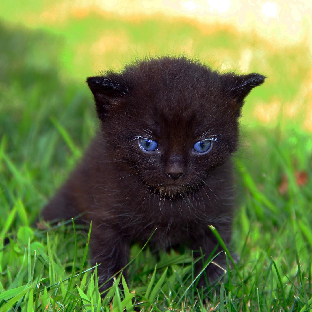 kleine schwarze katze mit blauen augen foto bild tiere tierkinder tiere aller art bilder. Black Bedroom Furniture Sets. Home Design Ideas