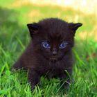 kleine schwarze Katze  mit blauen Augen