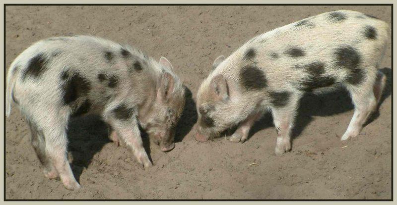 kleine Schweinerei