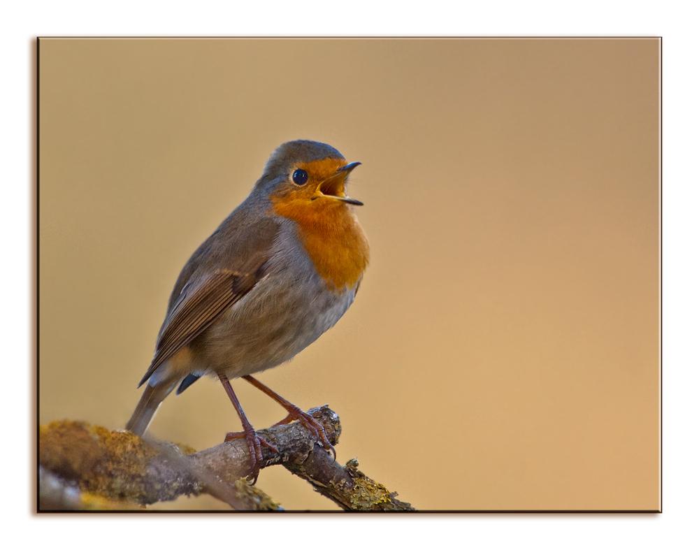 kleine Singeinlage des Rotkehlchen ...