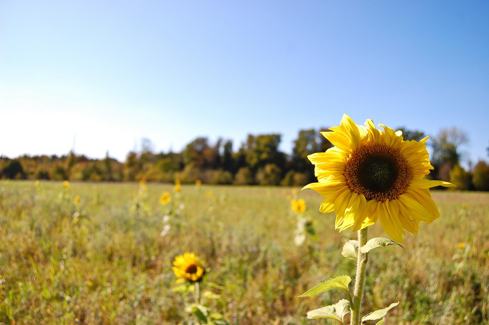 Kleine Sonne auf dem Feld