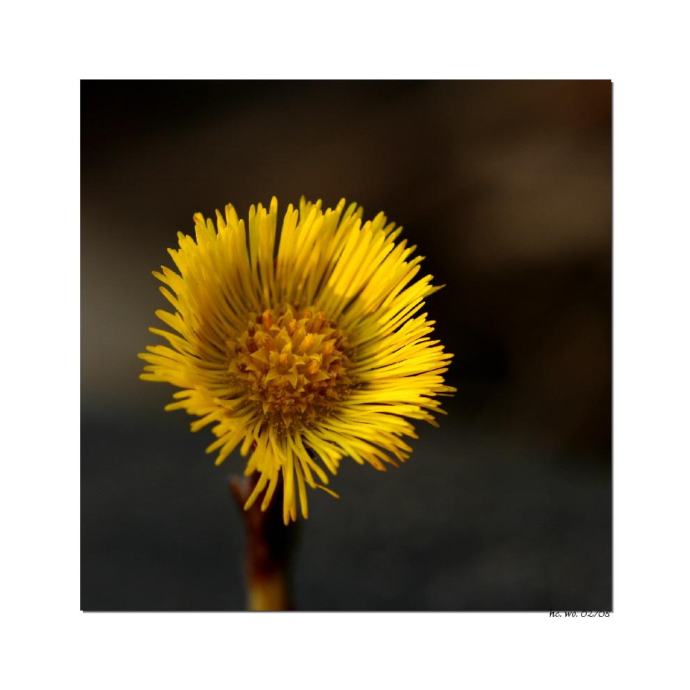 Kleine Sonne: Huflattich