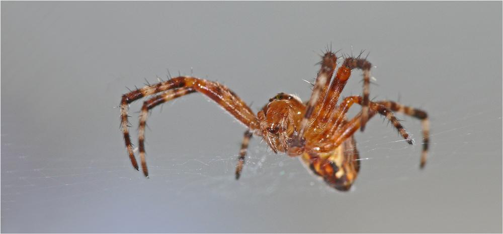 Kleine Spinne ganz grooooß!
