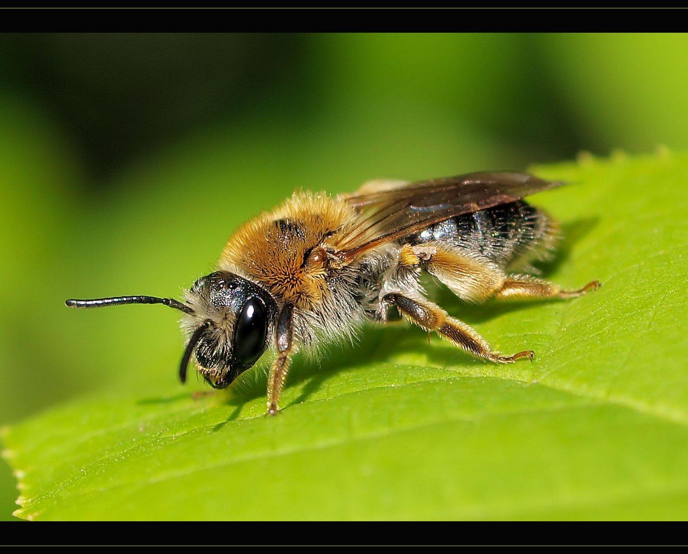 Kleine süsse Biene....