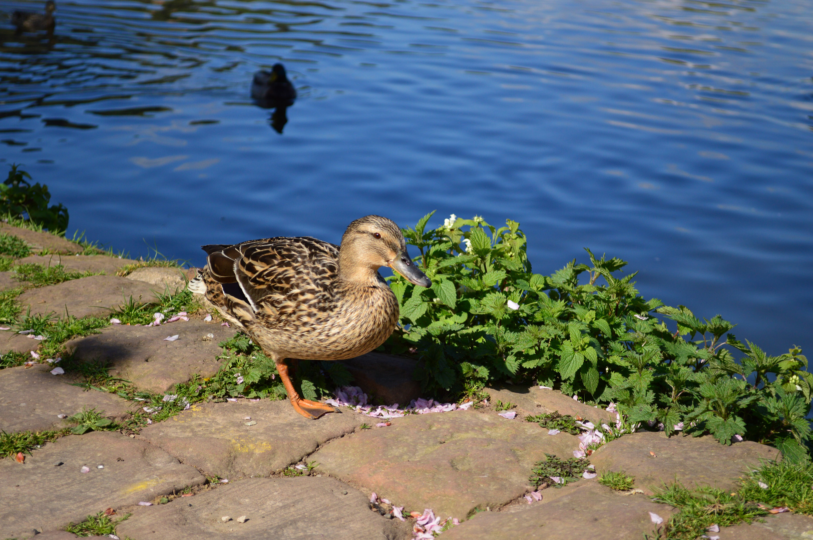Kleine süße Ente