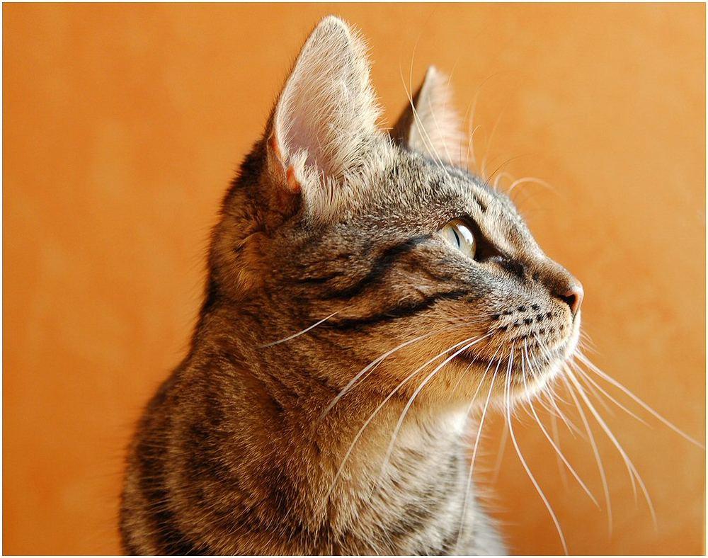 Katze Im Profil