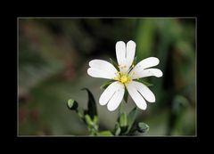 Kleine Waldblume