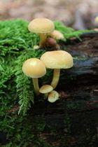 kleine Waldwichtel