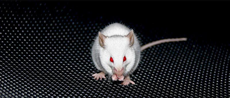 kleine weisse Maus