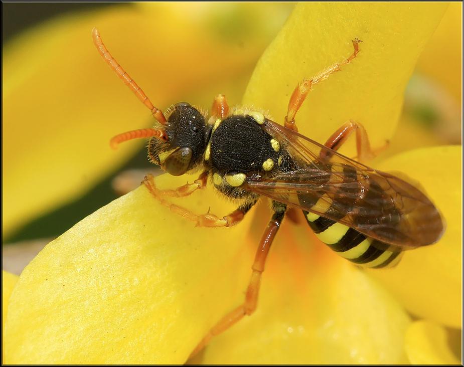 Kleine Wespe