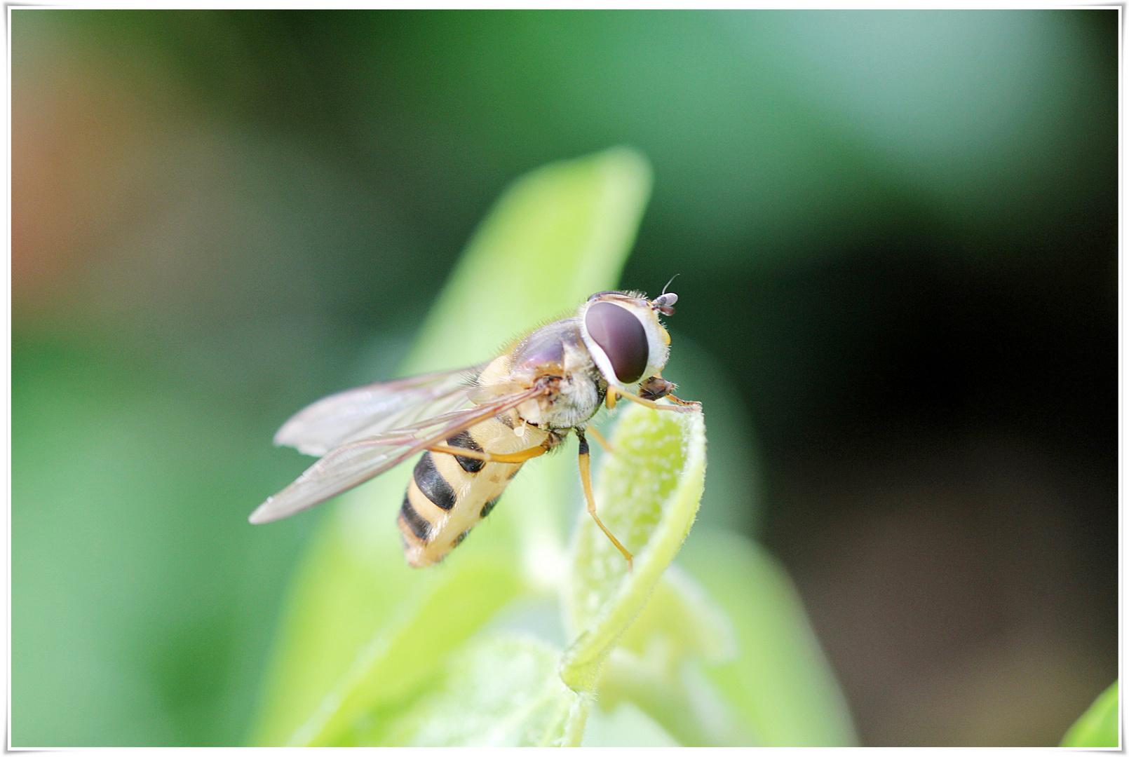 kleine Wespe genießt die Sonne