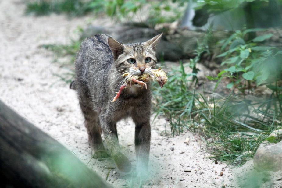 Kleine Wildkatze mit Beute