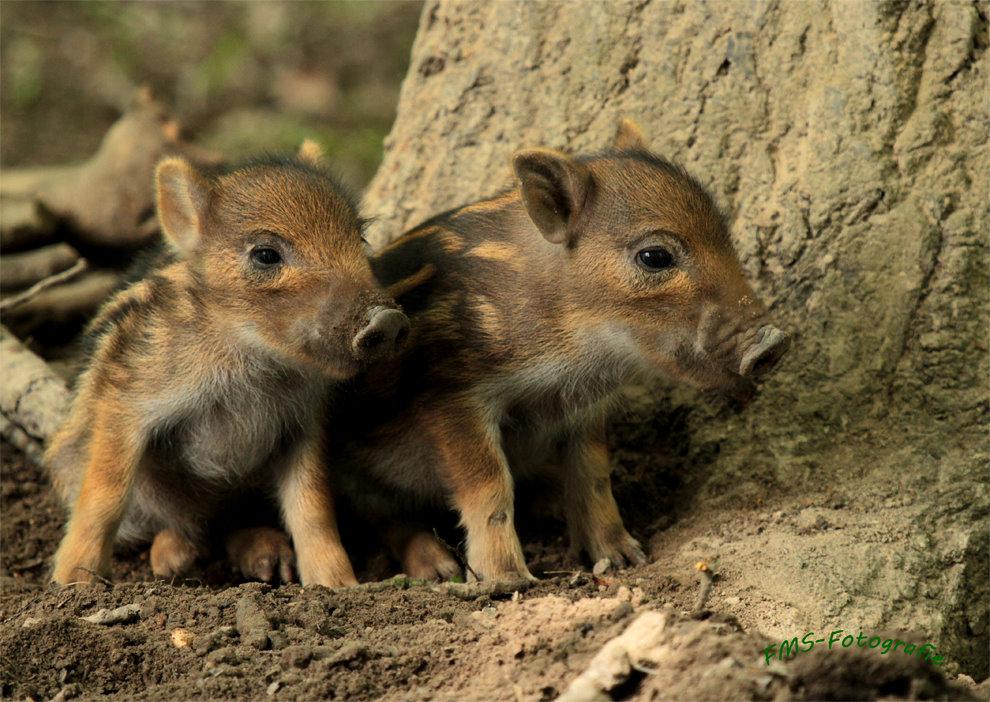 kleine Wildschweinchen bald ganz groß ...