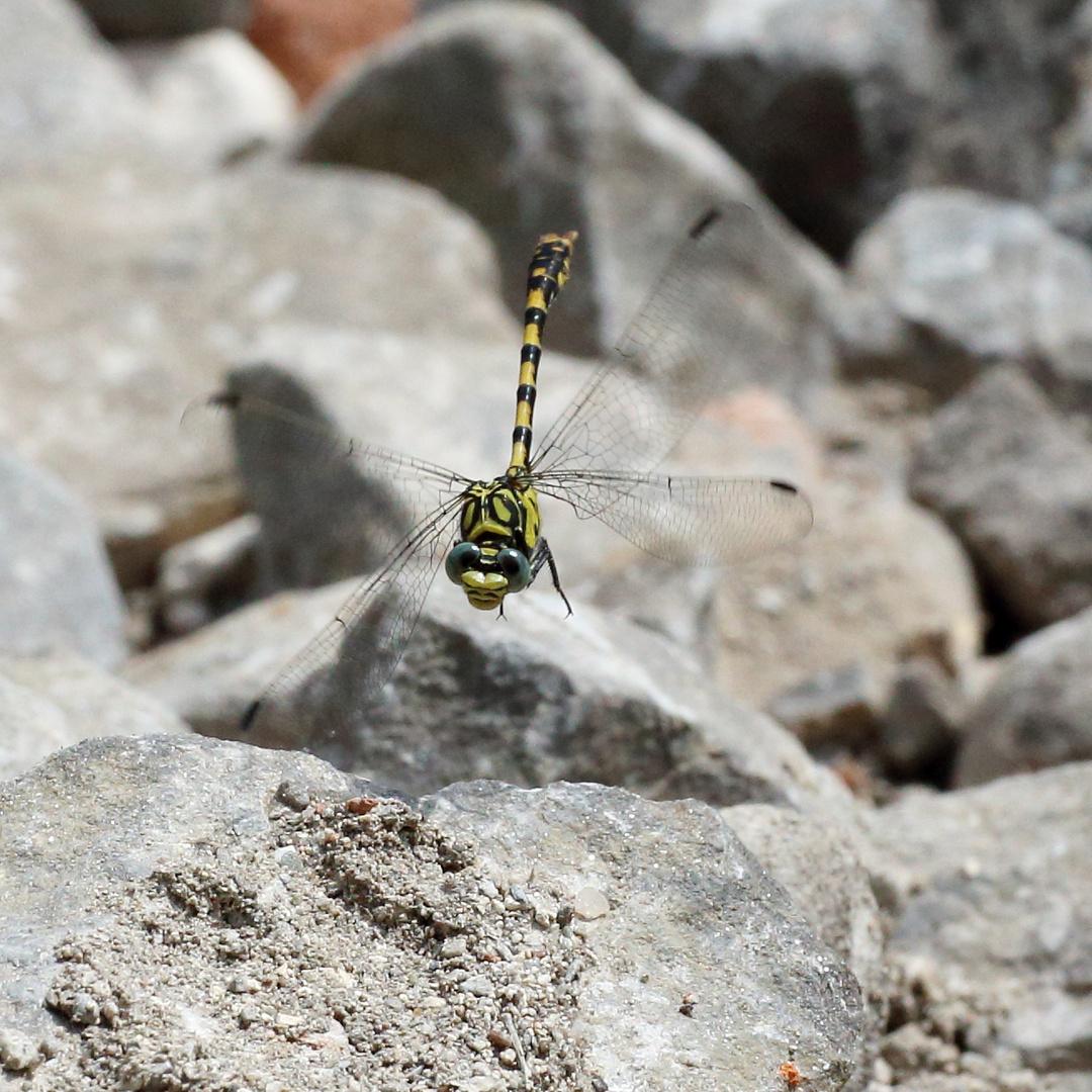 Kleine Zangenlibelle Südfrankreich