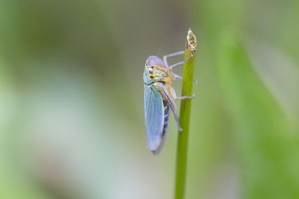 Kleine Zikade