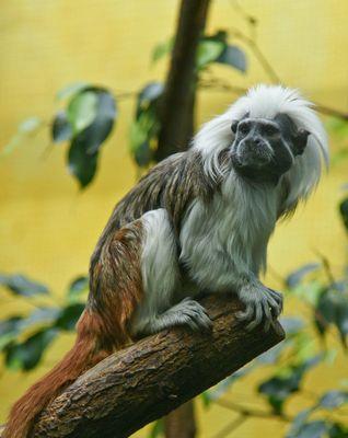 Kleiner Affe auf Baum, Frisur hält Drei Wetter Taft :-)