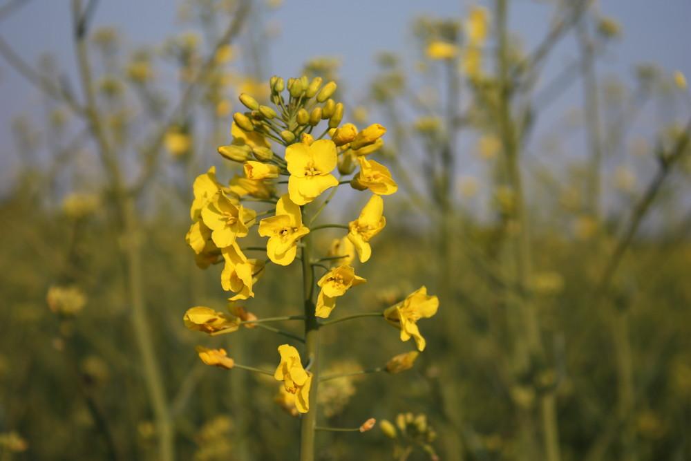 kleiner Ausflug ins gelbe Feld