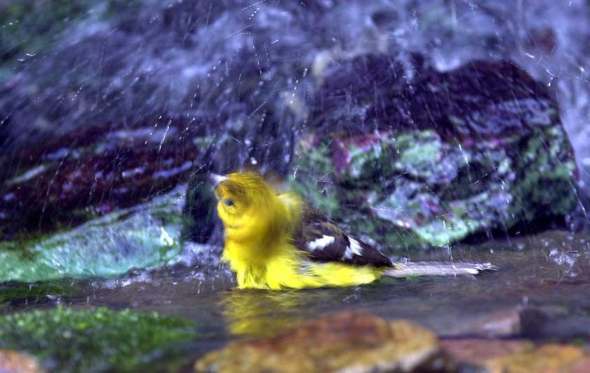 kleiner badener Vogel
