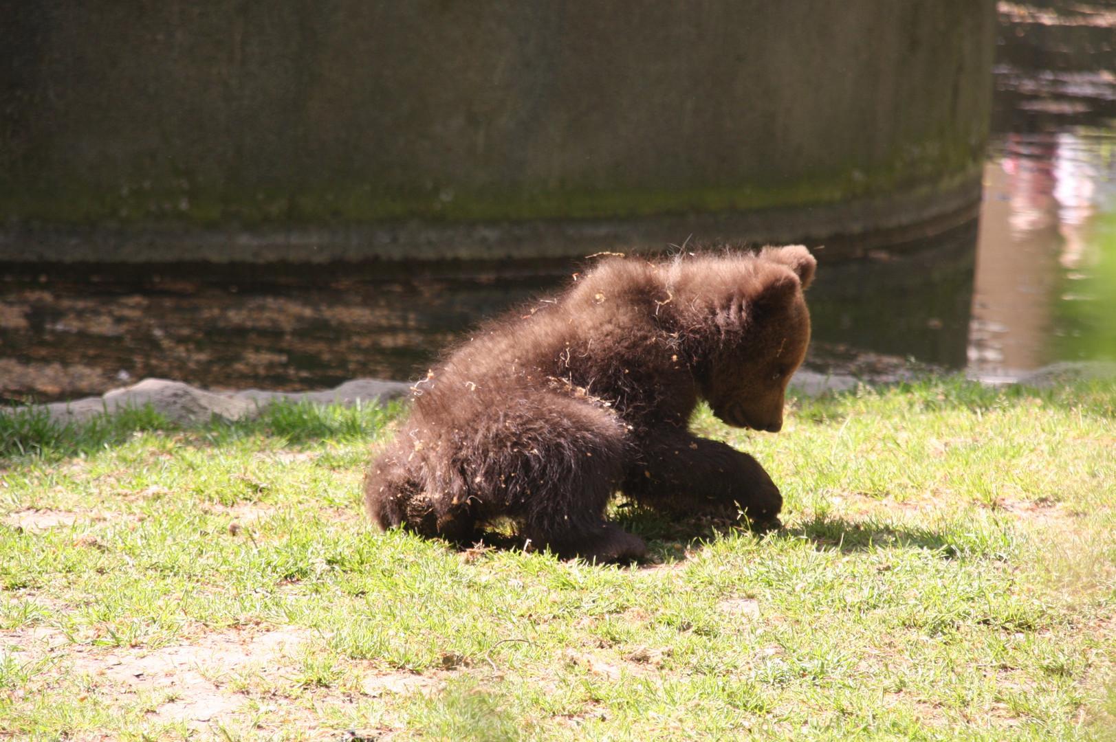 Kleiner Bär bei Hagenbeck