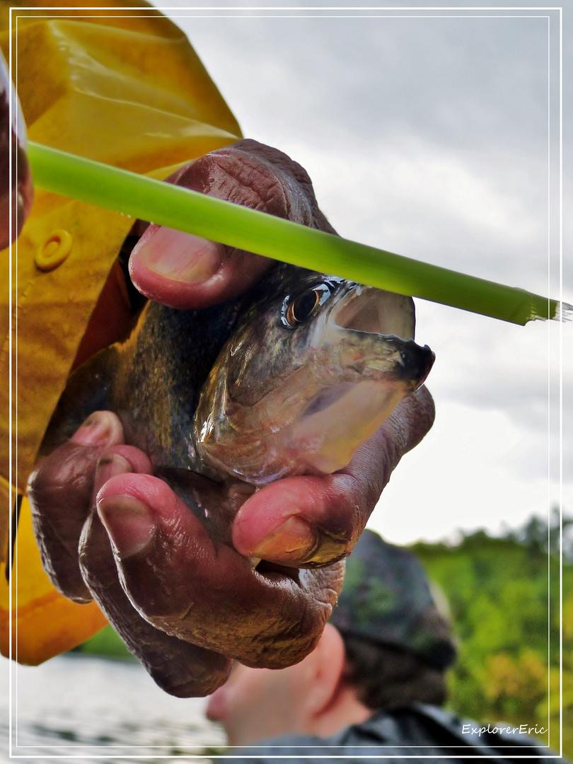 Kleiner Beisser, der Piranha............