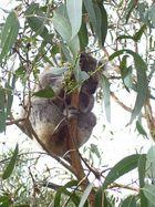 Kleiner besoffener Koala