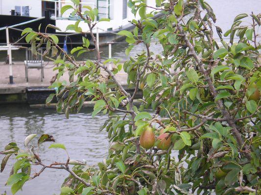 Kleiner Birnbaum