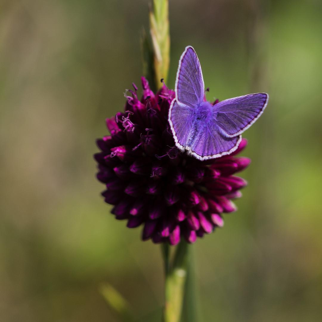kleiner blauer Blütenbesucher