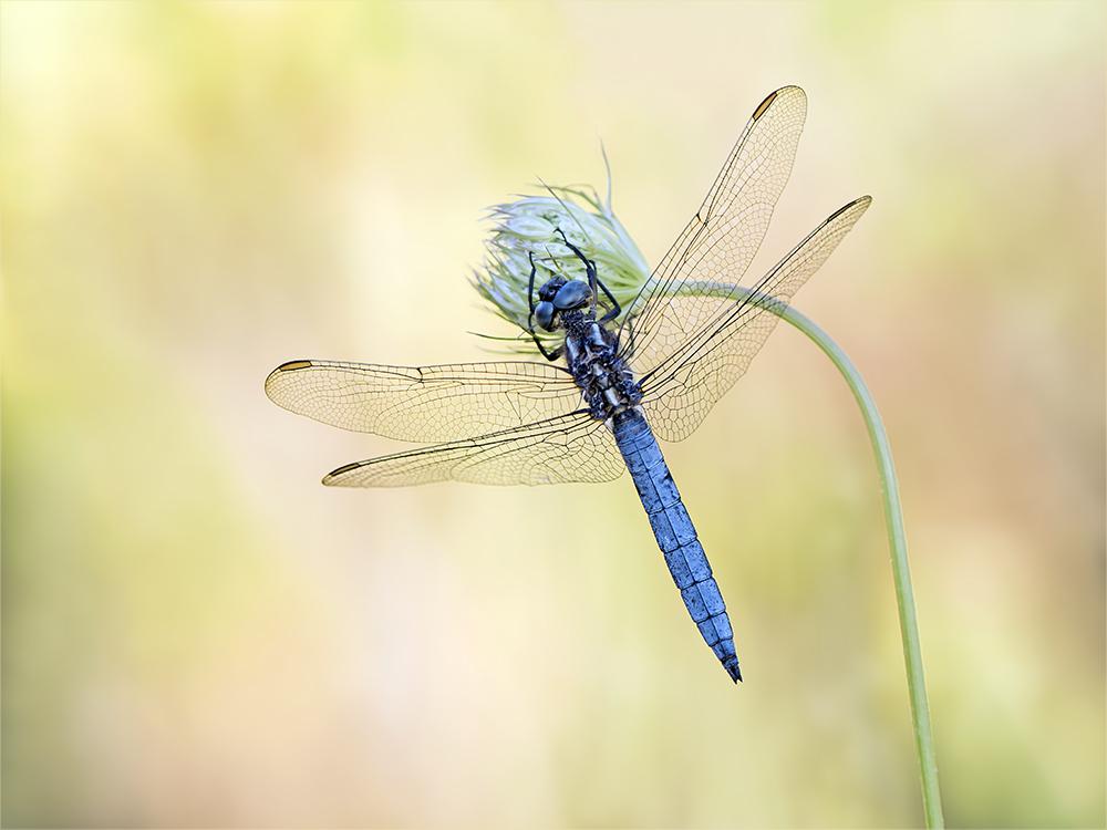 Kleiner Blaupfeil - Männchen