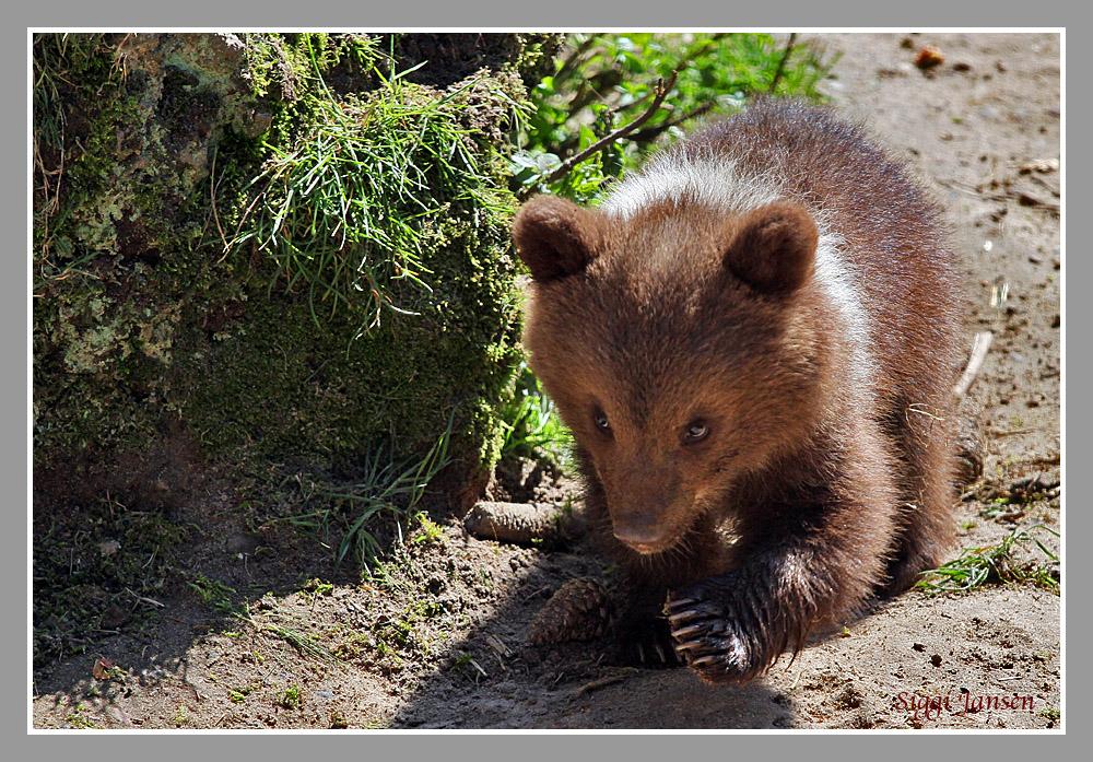 Kleiner Braunbär