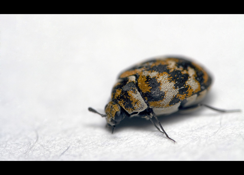kleiner brauner k fer foto bild tiere wildlife insekten bilder auf fotocommunity. Black Bedroom Furniture Sets. Home Design Ideas