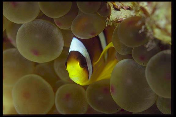 Kleiner Clownfish