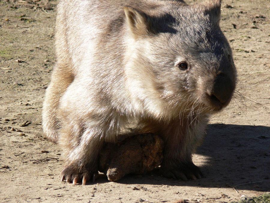 Kleiner Dicker - Wombat
