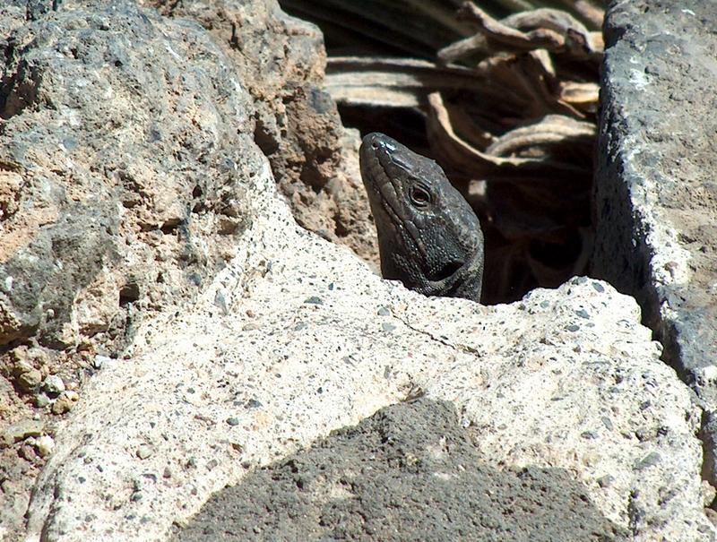 Kleiner Drache auf Teneriffa