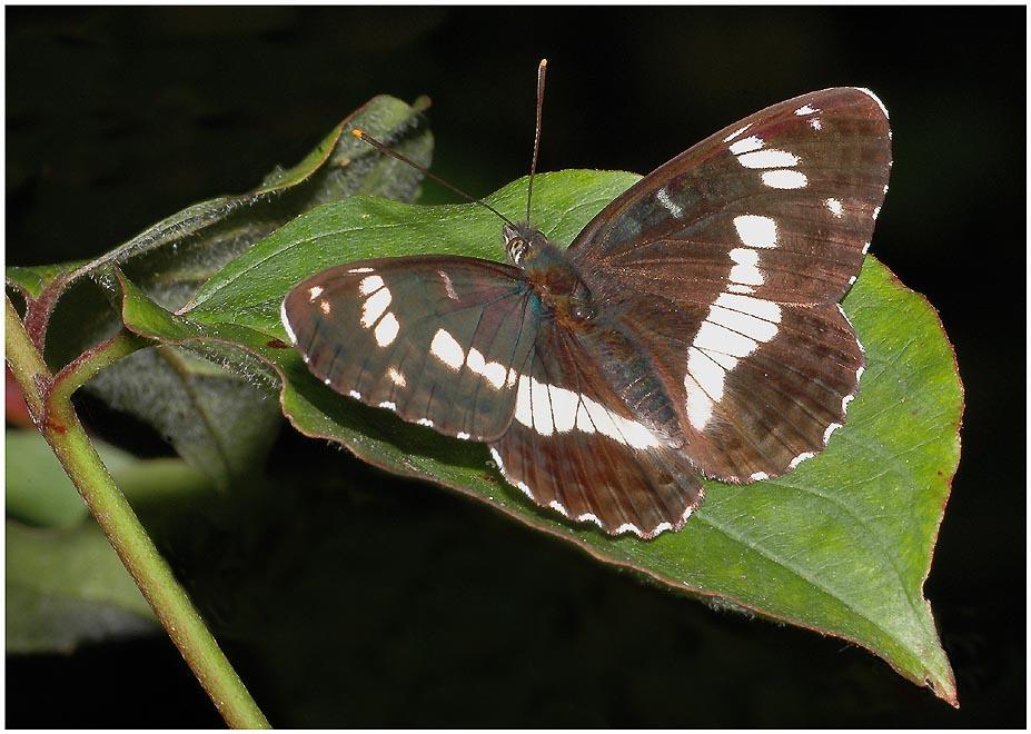 Kleiner Eisvogel - Limenitis camilla